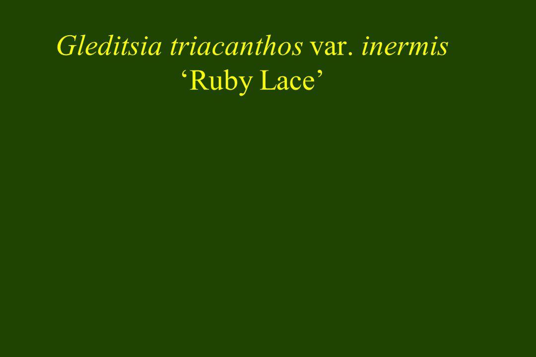 Gleditsia triacanthos var. inermis Ruby Lace