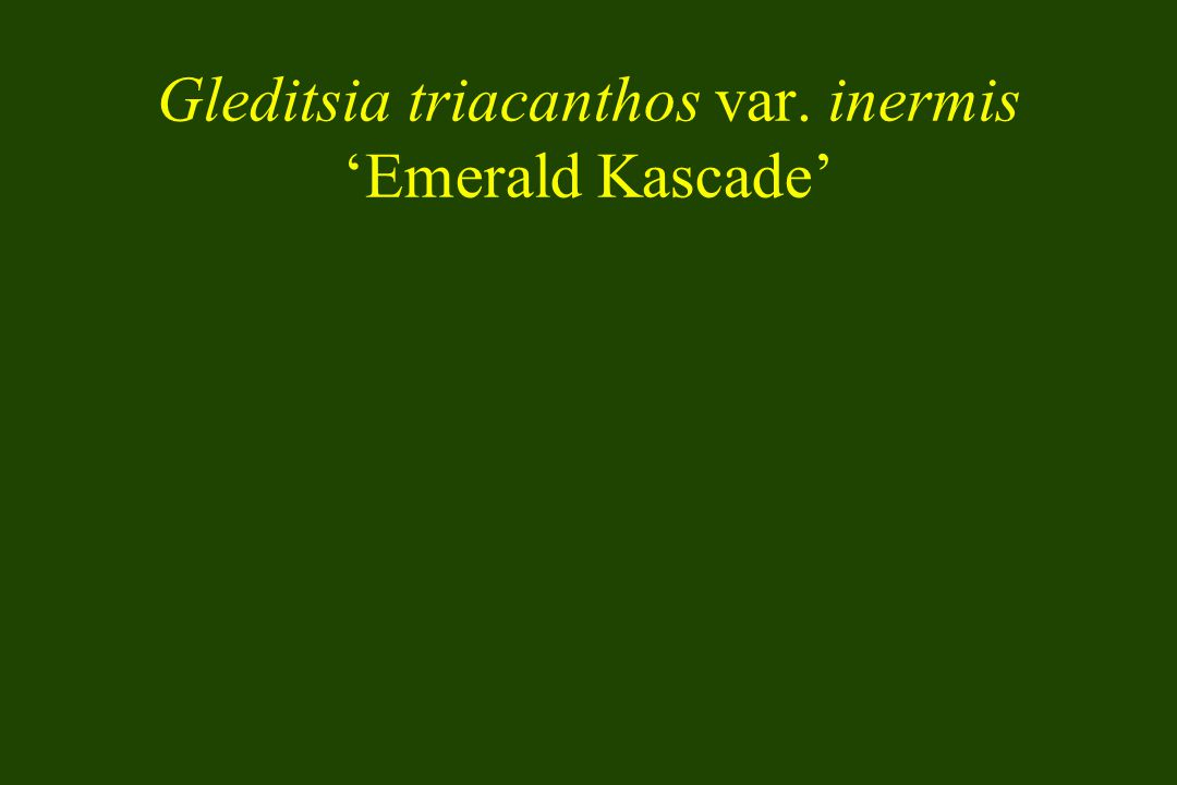 Gleditsia triacanthos var. inermis Emerald Kascade