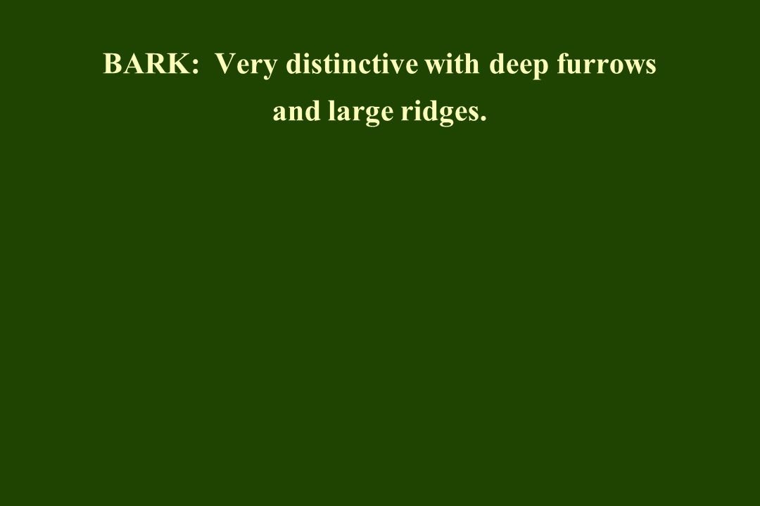 BARK: Very distinctive with deep furrows and large ridges.