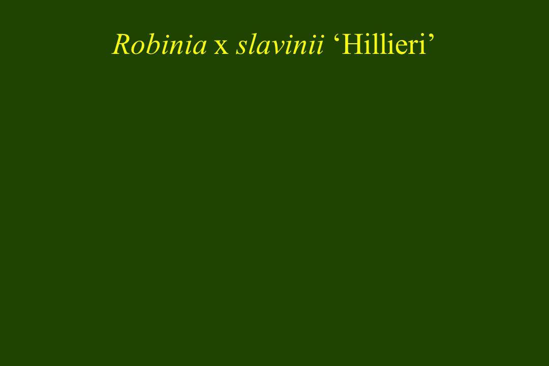 Robinia x slavinii Hillieri