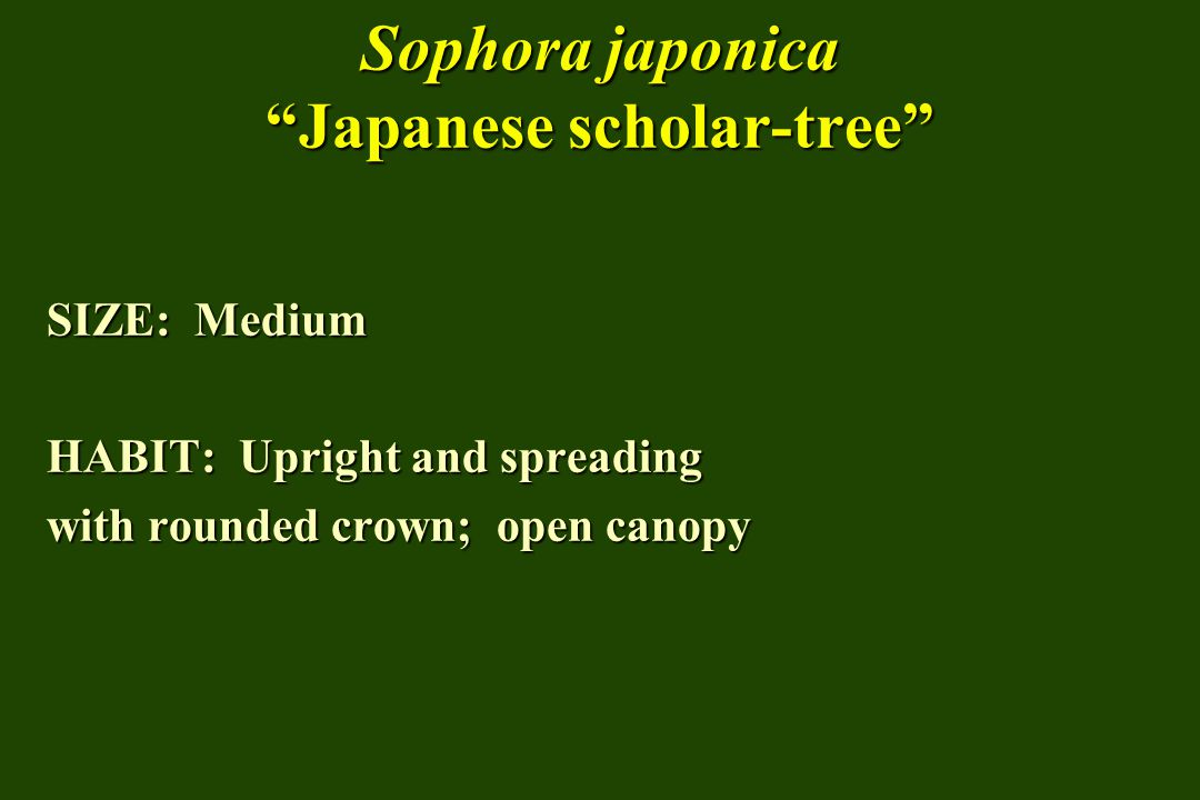 Sophora japonica Japanese scholar-tree SIZE: Medium HABIT: Upright and spreading with rounded crown; open canopy