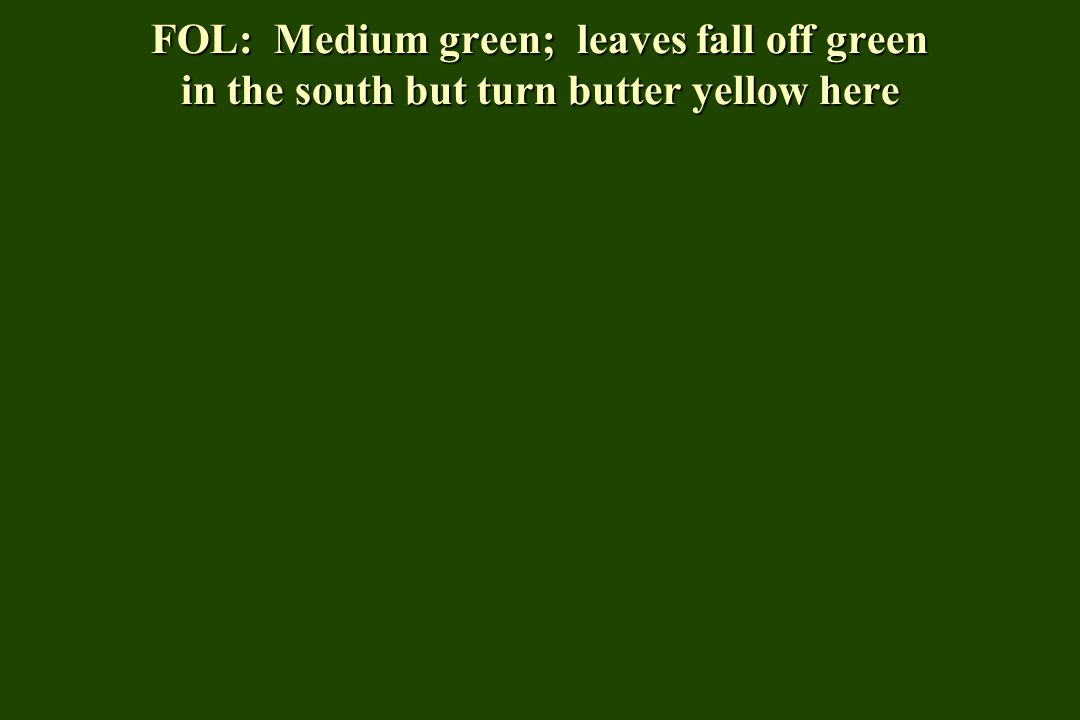 FOL: Medium green; leaves fall off green in the south but turn butter yellow here