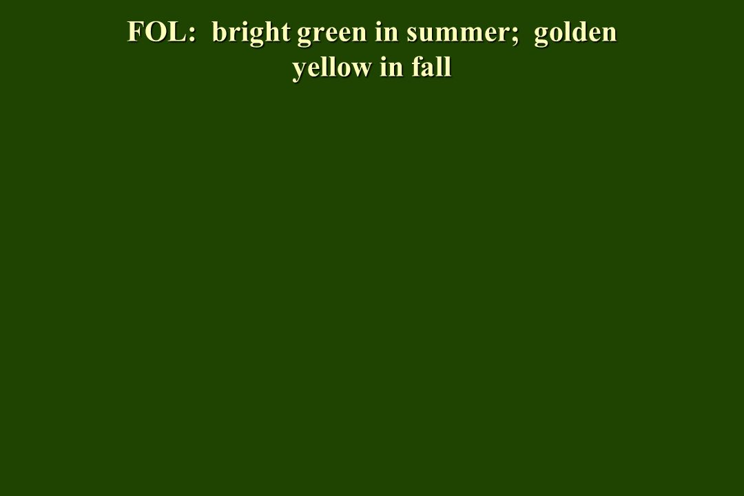 FOL: bright green in summer; golden yellow in fall