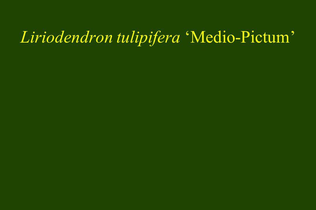 Liriodendron tulipifera Medio-Pictum
