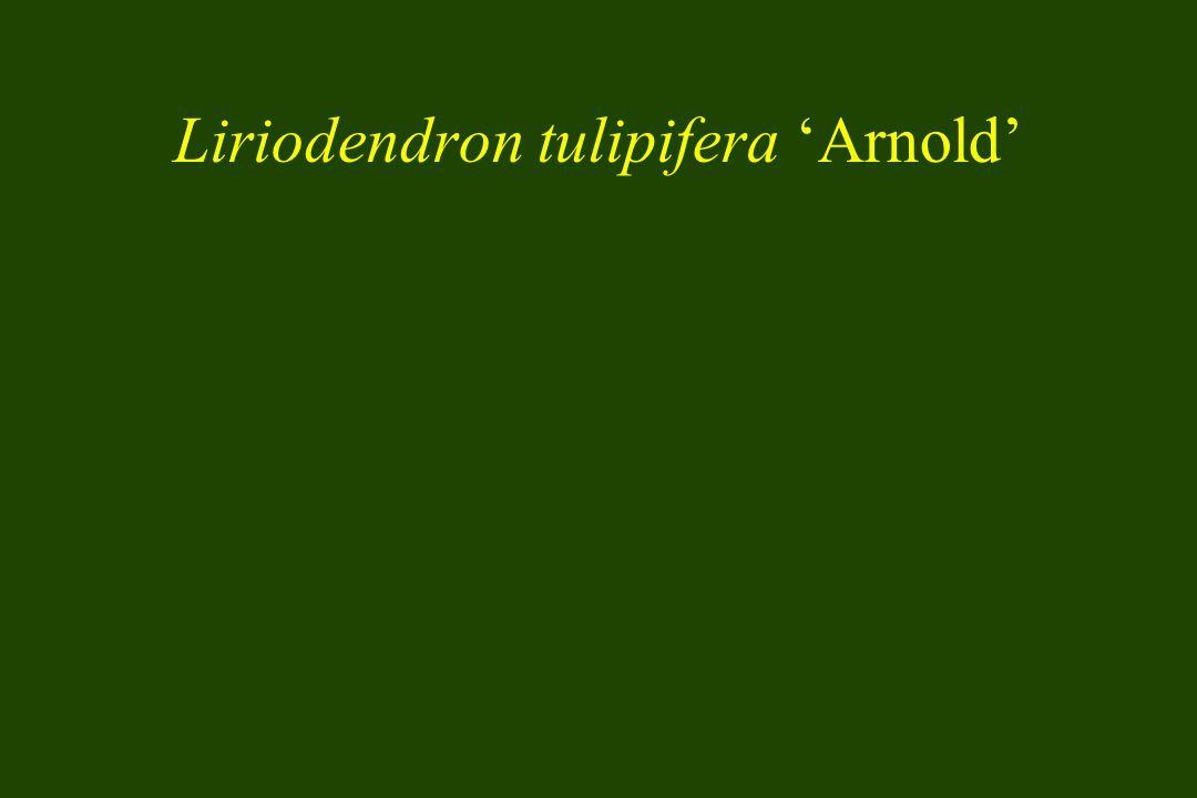 Liriodendron tulipifera Arnold