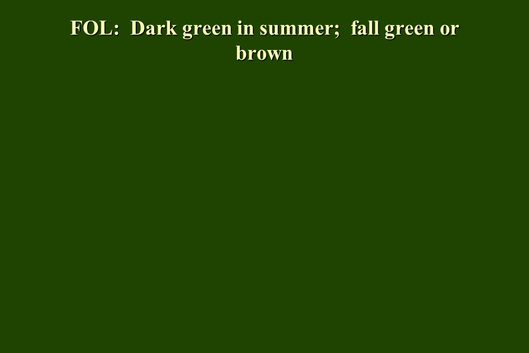 FOL: Dark green in summer; fall green or brown