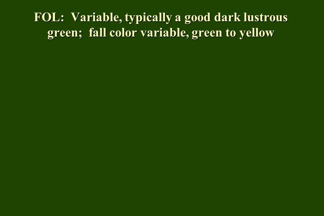 FOL: Variable, typically a good dark lustrous green; fall color variable, green to yellow