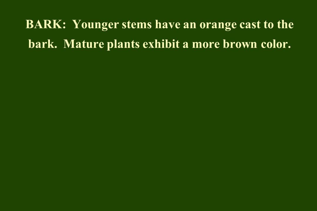 BARK: Younger stems have an orange cast to the bark. Mature plants exhibit a more brown color.