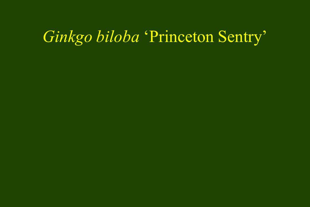 Ginkgo biloba Princeton Sentry