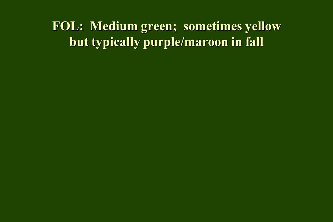 FOL: Medium green; sometimes yellow but typically purple/maroon in fall
