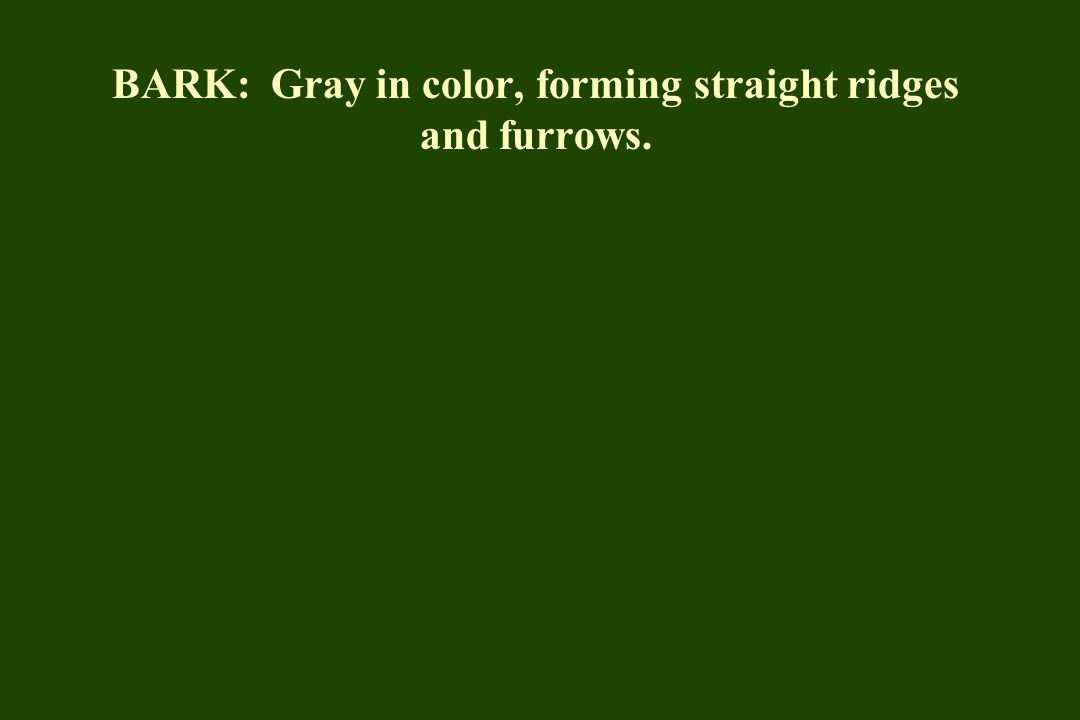 BARK: Gray in color, forming straight ridges and furrows.