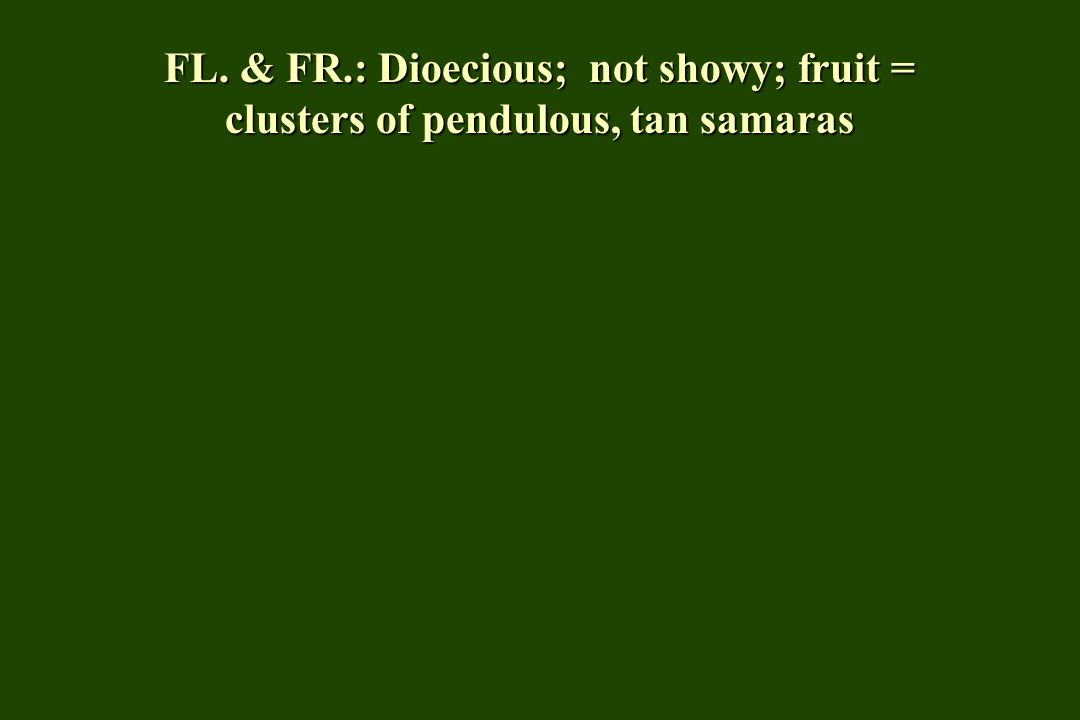 FL. & FR.: Dioecious; not showy; fruit = clusters of pendulous, tan samaras