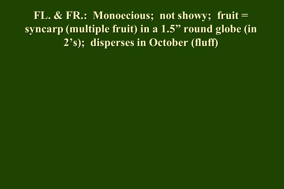 FL. & FR.: Monoecious; not showy; fruit = syncarp (multiple fruit) in a 1.5 round globe (in 2s); disperses in October (fluff)