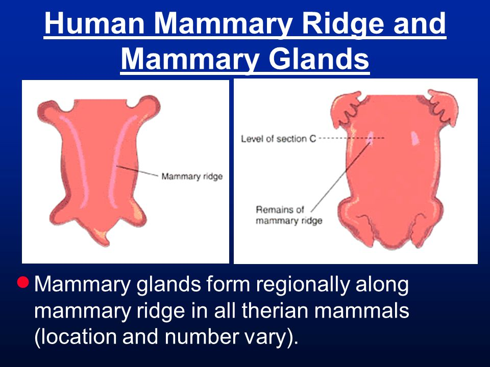 Human Mammary Ridge and Mammary Glands Mammary glands form regionally along mammary ridge in all therian mammals (location and number vary).