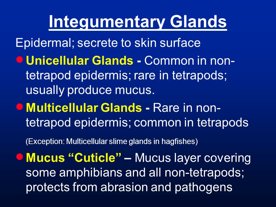 Integumentary Glands Epidermal; secrete to skin surface Unicellular Glands - Common in non- tetrapod epidermis; rare in tetrapods; usually produce mucus.