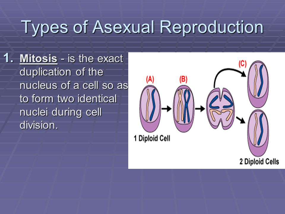 Types of Asexual Reproduction 2.