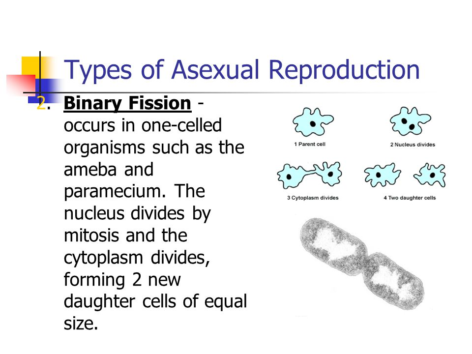 Types of Asexual Reproduction 3.Budding - Occurs in Hydra and yeast.