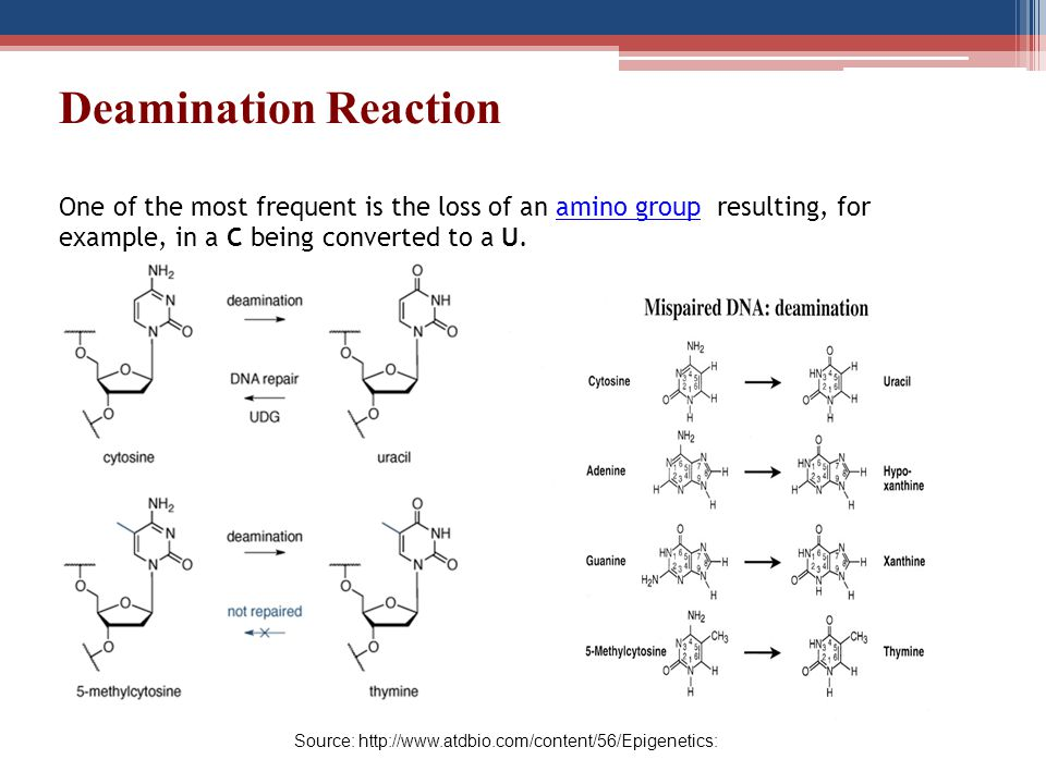 Deamination Reaction One of the most frequent is the loss of an amino group resulting, for example, in a C being converted to a U.amino group Source: