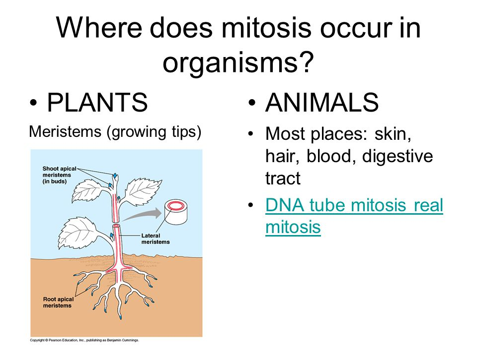 Where does mitosis occur in organisms.