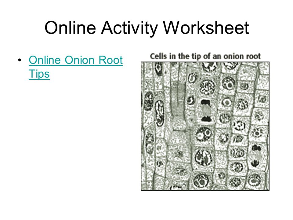 Online Activity Worksheet Online Onion Root TipsOnline Onion Root Tips
