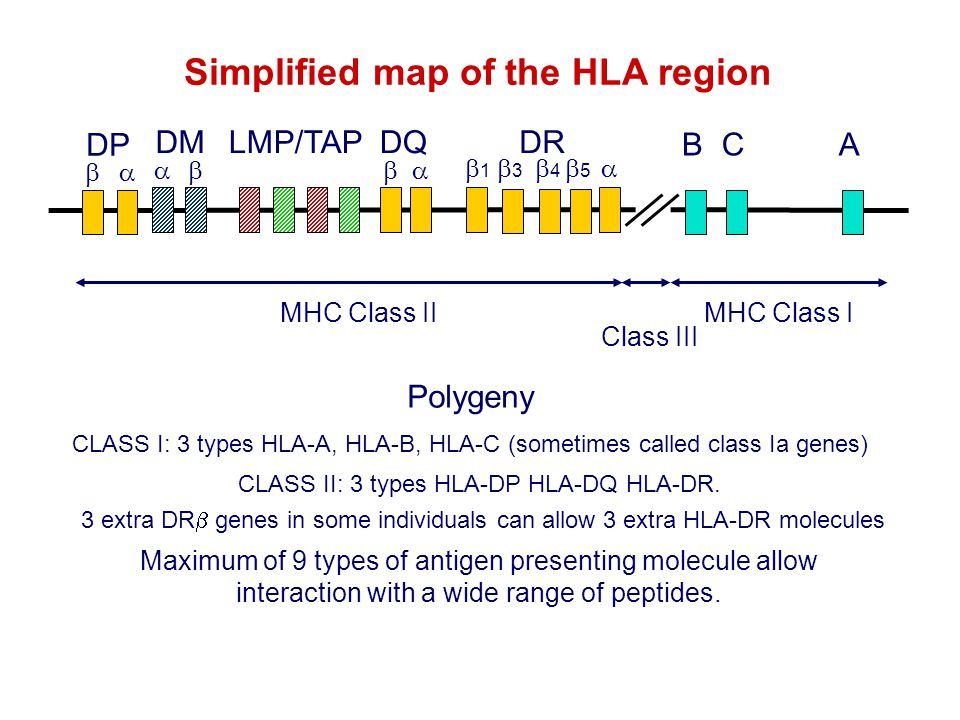 Simplified map of the HLA region Maximum of 9 types of antigen presenting molecule allow interaction with a wide range of peptides. Class III MHC Clas