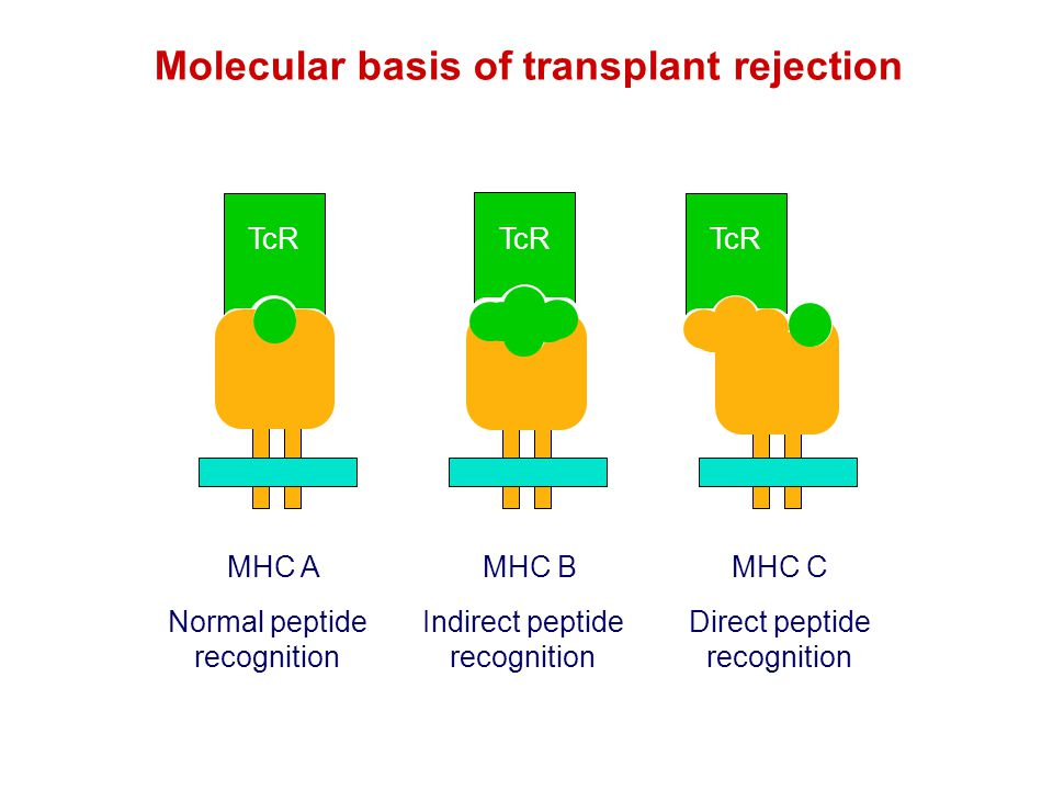 TcR Molecular basis of transplant rejection MHC AMHC BMHC C Normal peptide recognition Indirect peptide recognition Direct peptide recognition