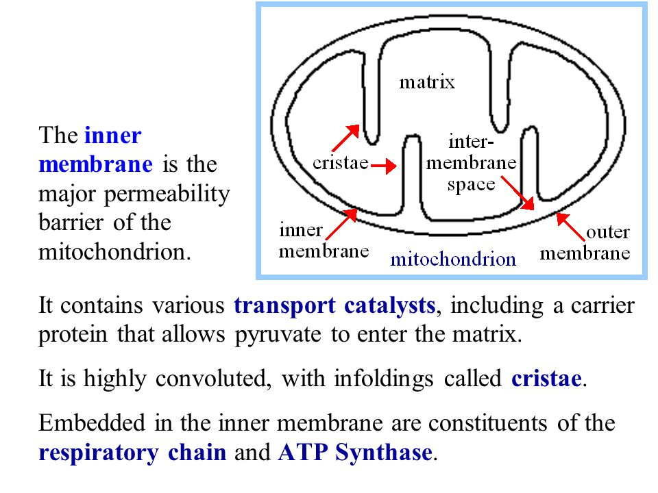 It contains various transport catalysts, including a carrier protein that allows pyruvate to enter the matrix. It is highly convoluted, with infolding
