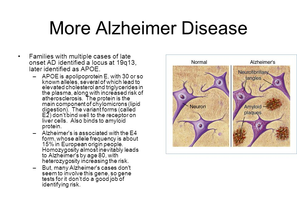 More Alzheimer Disease Families with multiple cases of late onset AD identified a locus at 19q13, later identified as APOE. –APOE is apolipoprotein E,