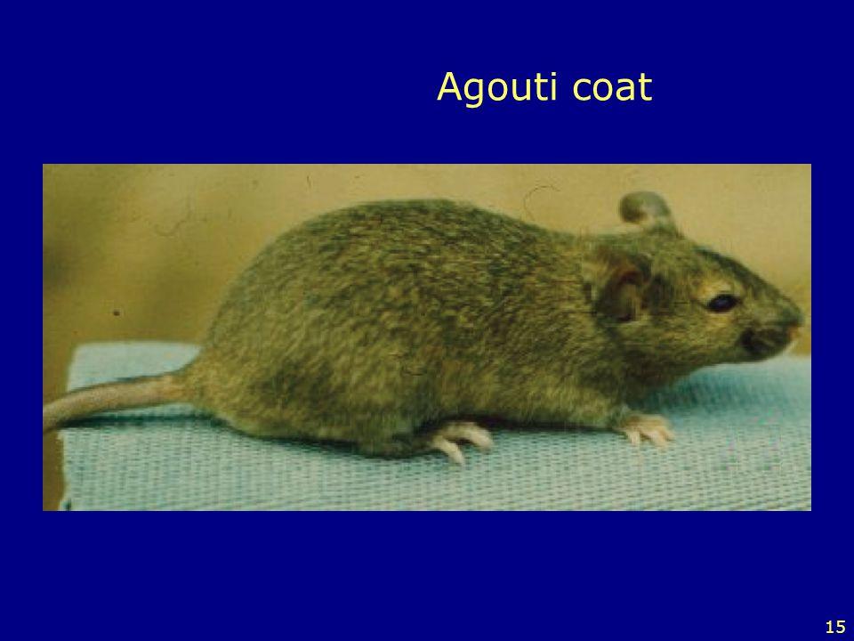 15 Agouti coat
