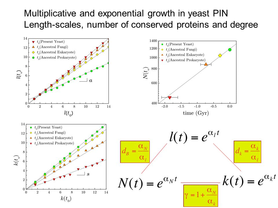Multiplicative and exponential growth in yeast PIN Length-scales, number of conserved proteins and degree