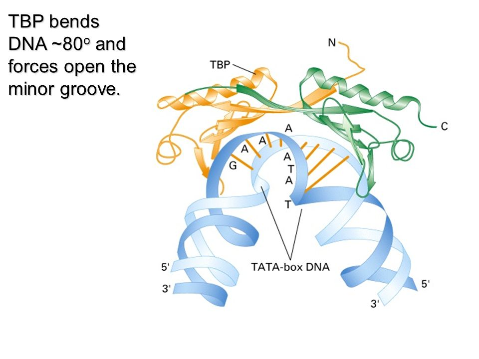 The association of TBP with TAF I s,TAF II s, TAF III s, and PTF/SNAPc directs TBP to different promoter classes.