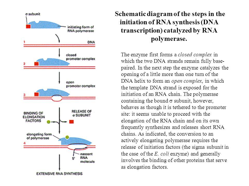 Random transcription by bacterial RNA polymerase core Promoter E.