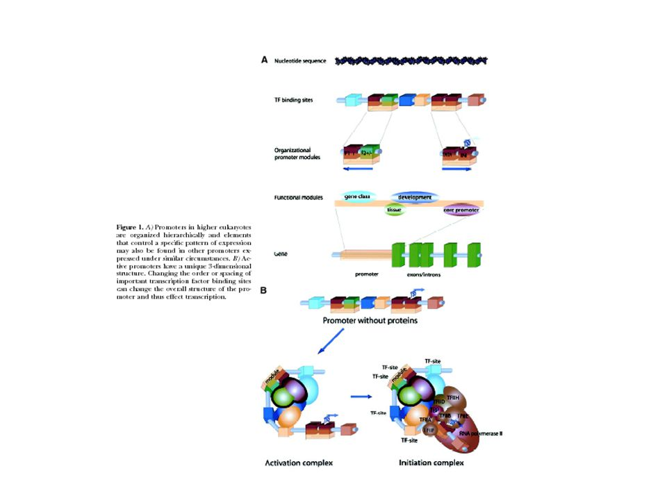Enhancers and Silencers Enhancers stimulate transcription, silencers inhibit.