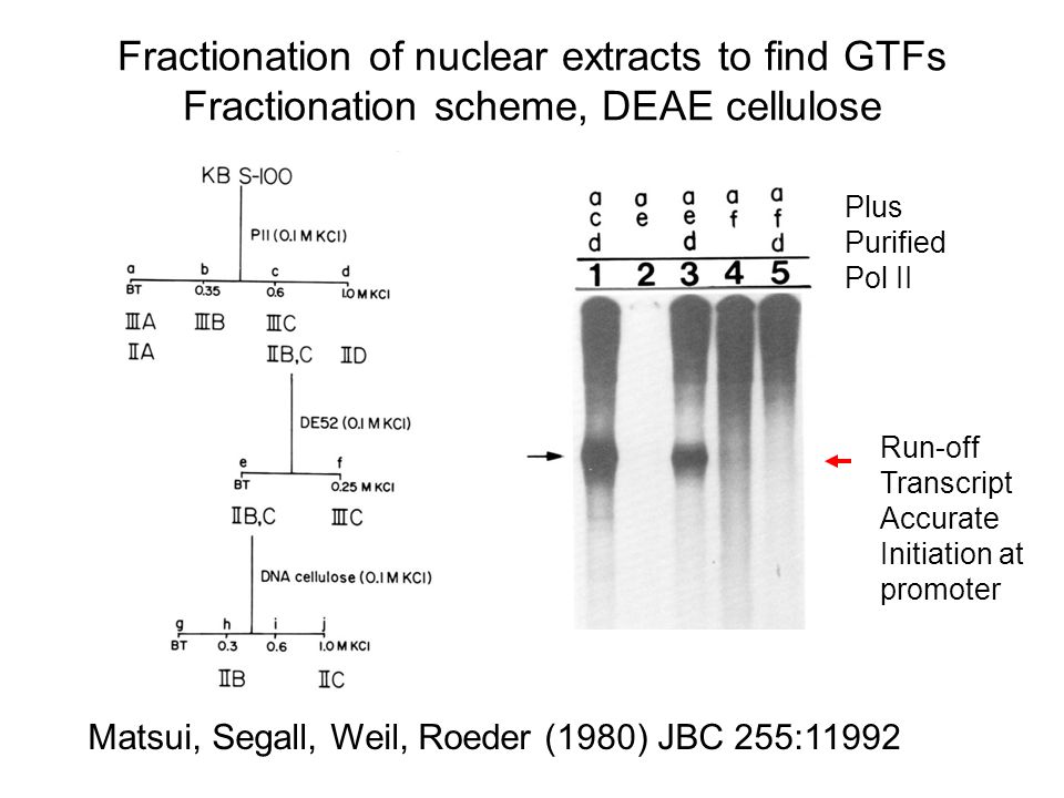 Accurate initiation by Euk RNA polymerase II plus factors in the nucleus Promoter + initiation elongation Nascent RNA Run-off transcript, Discrete size ++ Eukaryotic RNA pol II + Nuclear extract, S-100 General Transcription Initiation Factors