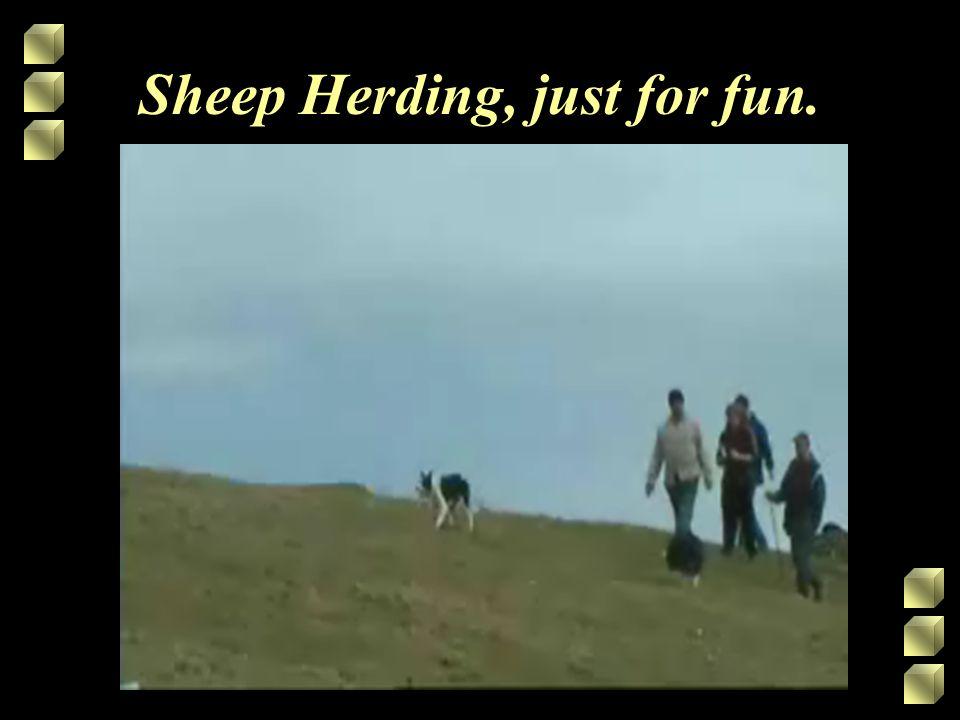 Sheep Herding, just for fun.