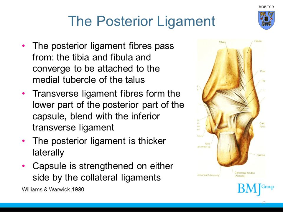 The Posterior Ligament The posterior ligament fibres pass from: the tibia and fibula and converge to be attached to the medial tubercle of the talus T