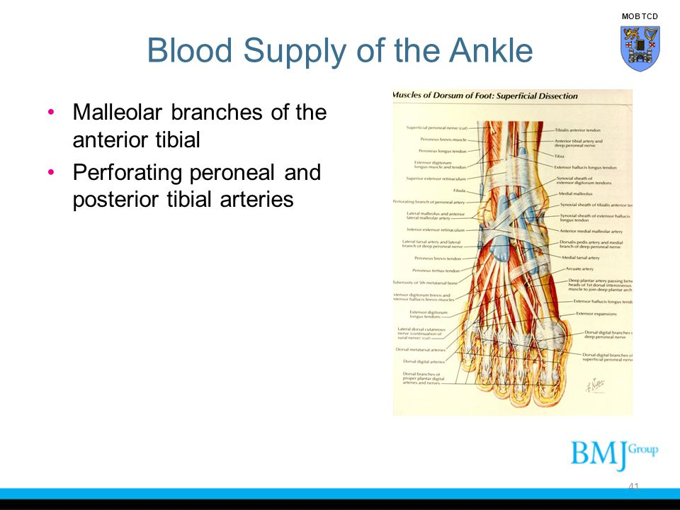 Blood Supply of the Ankle Malleolar branches of the anterior tibial Perforating peroneal and posterior tibial arteries 41 MOB TCD