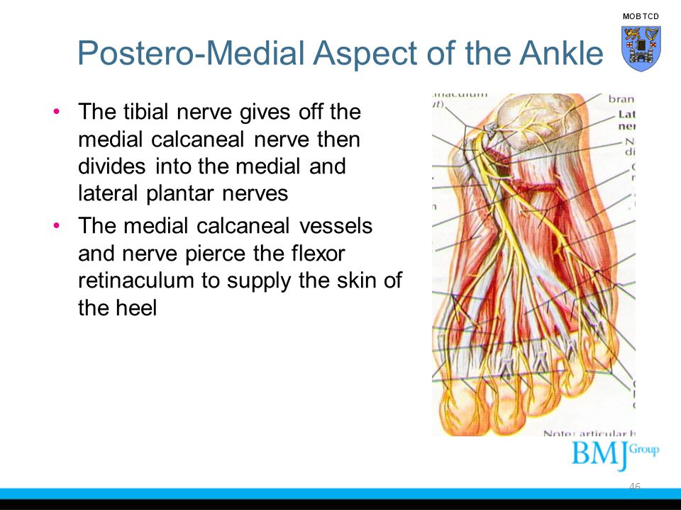 The tibial nerve gives off the medial calcaneal nerve then divides into the medial and lateral plantar nerves The medial calcaneal vessels and nerve p