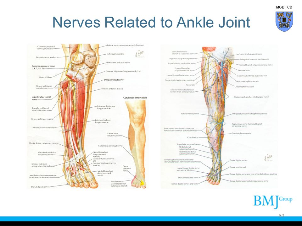 Nerves Related to Ankle Joint 50 MOB TCD