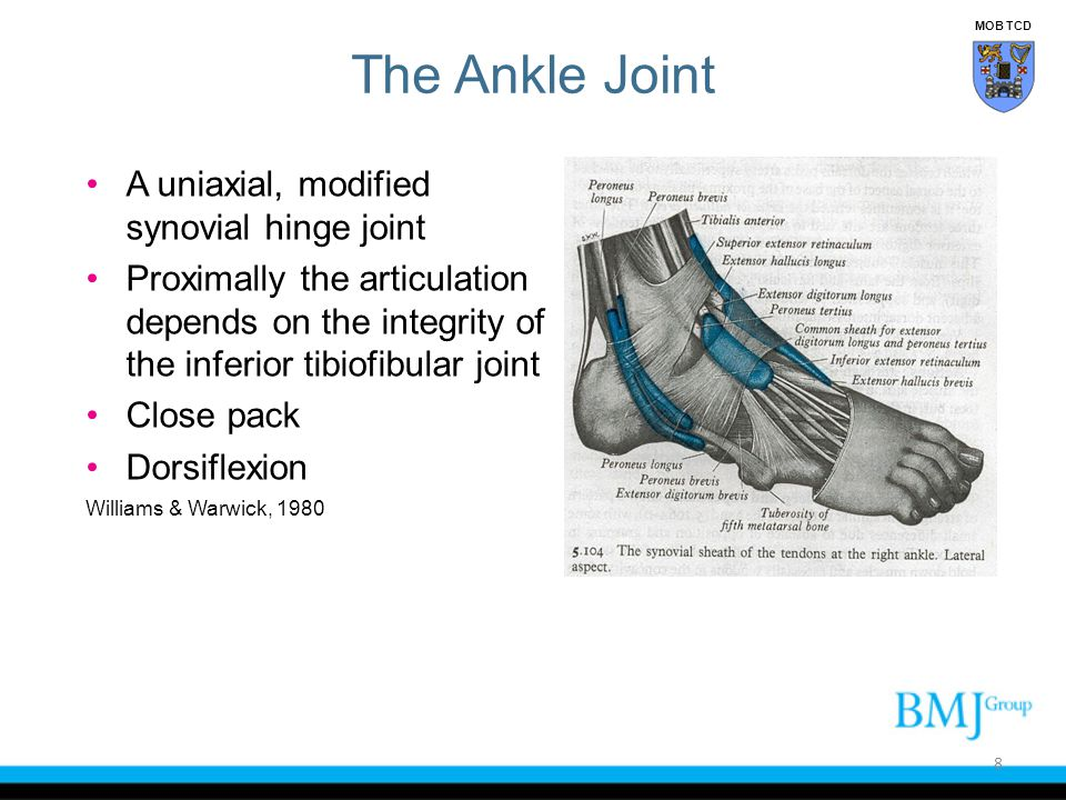 Plantar flexion and eversion Peroneus longus Peroneus brevis Dorsi-flexion and eversion Peroneus tertius 49 Lateral Aspect of the Ankle MOB TCD