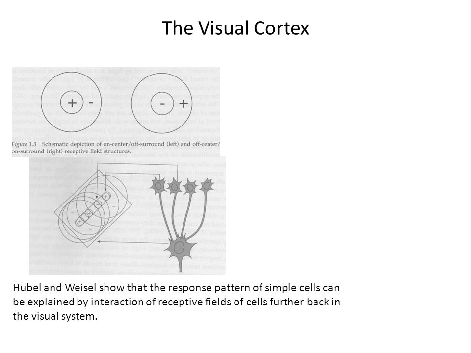 The Visual Cortex Hubel and Weisel show that the response pattern of simple cells can be explained by interaction of receptive fields of cells further back in the visual system.