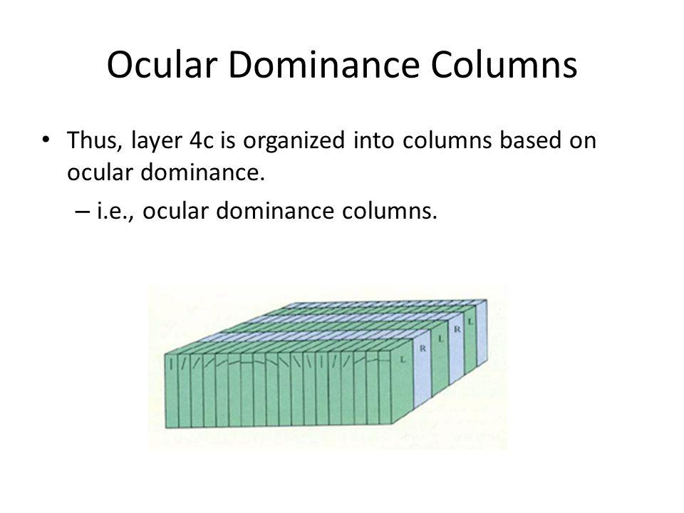 Ocular Dominance Columns Thus, layer 4c is organized into columns based on ocular dominance.