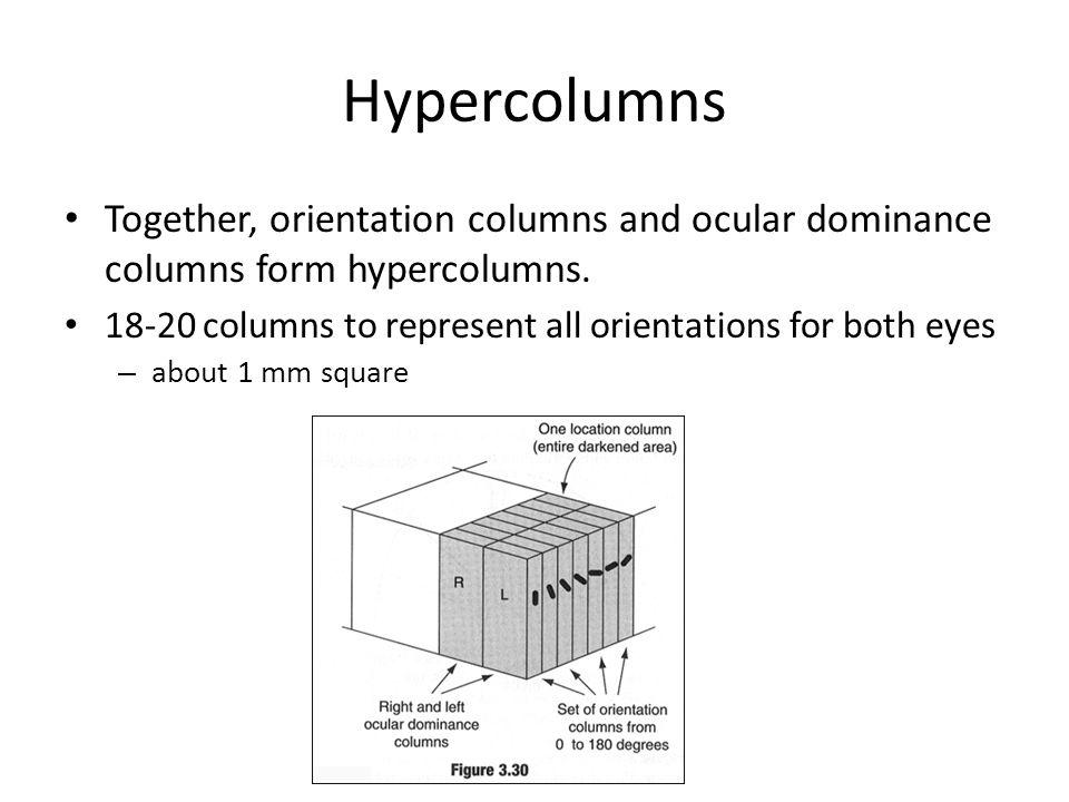 Hypercolumns Together, orientation columns and ocular dominance columns form hypercolumns.