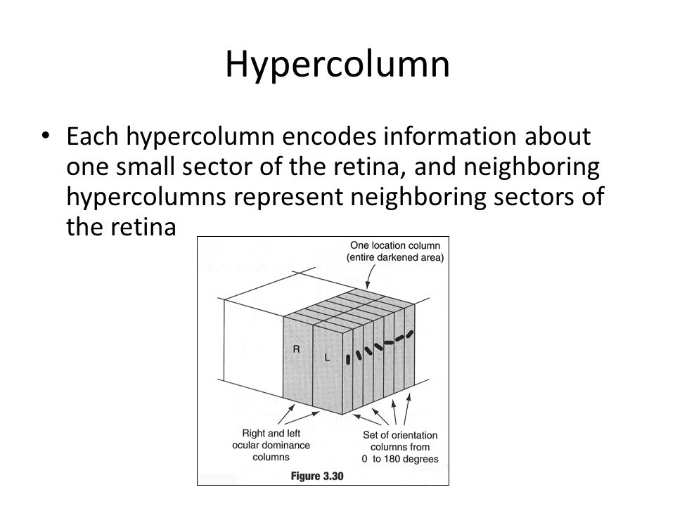 Hypercolumn Each hypercolumn encodes information about one small sector of the retina, and neighboring hypercolumns represent neighboring sectors of the retina