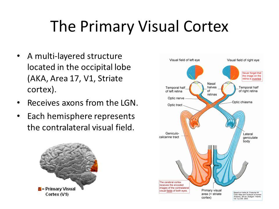 A multi-layered structure located in the occipital lobe (AKA, Area 17, V1, Striate cortex).