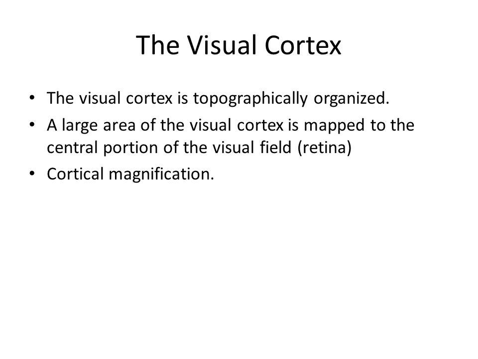 The Visual Cortex The visual cortex is topographically organized.