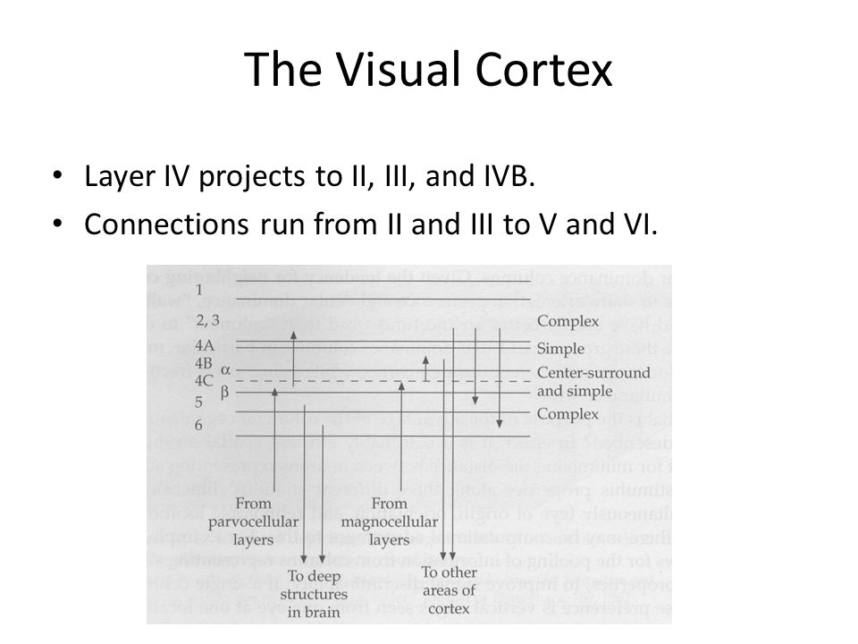 The Visual Cortex Layer IV projects to II, III, and IVB.