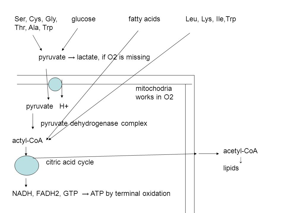 Ser, Cys, Gly, glucosefatty acids Leu, Lys, Ile,Trp Thr, Ala, Trp pyruvate lactate, if O2 is missing pyruvate H+ pyruvate dehydrogenase complex actyl-CoA citric acid cycle NADH, FADH2, GTP ATP by terminal oxidation acetyl-CoA lipids mitochodria works in O2