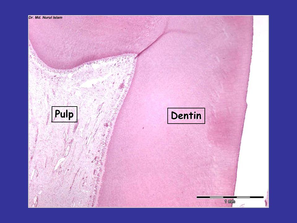 Dentin Pulp Odontoblast cell layer