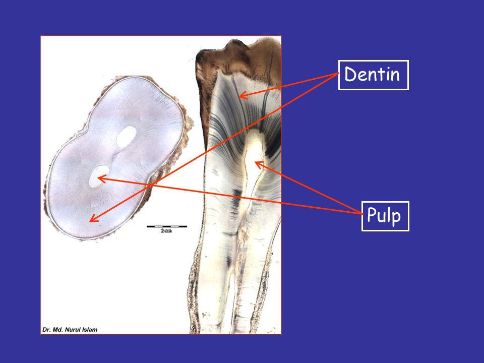 Dentinal tubules Predentin Odontoblast layer